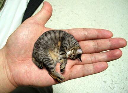世界一小さい猫.jpg